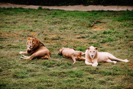 A group of lions lies on the grass in the safari park.
