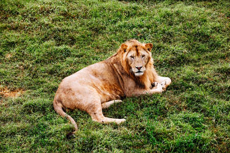 Single male lion portrait. African male lion looking at camera.