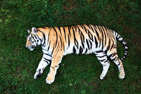 Portrait of a Amur tiger on a grass in summer day.