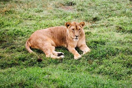 A female lion portrait. African lion in safari park.