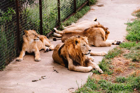 Group of African Lions, Panthera leo, in safari park.