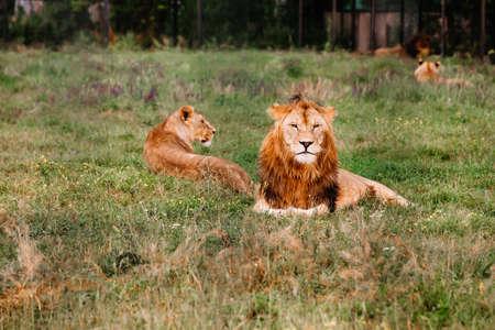 Pride of African Lions, Panthera leo, in safari park. Standard-Bild