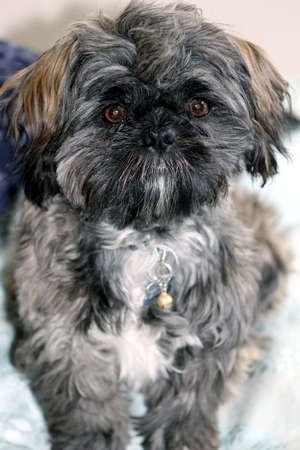 shihtzu: shih-tzu puppy