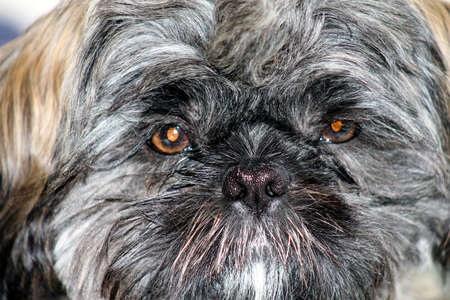shihtzu: Shih-tzu dog