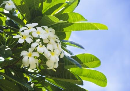 White Frangipani (plumeria) flower in a natural environment, including leaves, Hawaii, USA 版權商用圖片
