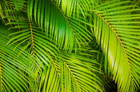 Background from green leaves of palm tree