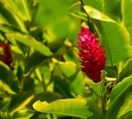 alpinia: Alpinia flower in a natural environment, including leaves, Hawaii, USA Stock Photo