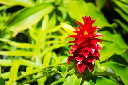 Alpinia flower in a natural environment, including leaves, Hawaii, USA Stock Photo