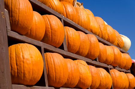 Ripe pumpkins background on the harvest farm in october