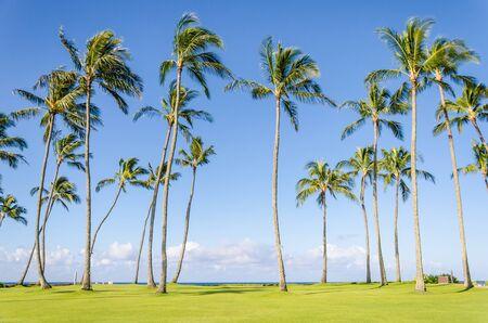 hawaii: Cococnut Palm trees on the Poipu beach in Hawaii, Kauai Stock Photo