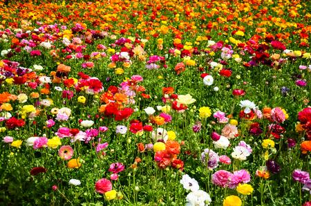 flower fields: Colorful Ranunculus fields in Carlsbad, California, USA Stock Photo