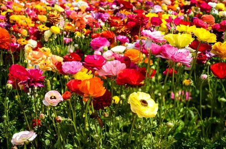 Colorful Ranunculus fields in Carlsbad, California, USA Reklamní fotografie