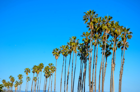 California high palm trees on the the beach, blue sky  background, Santa Barbara