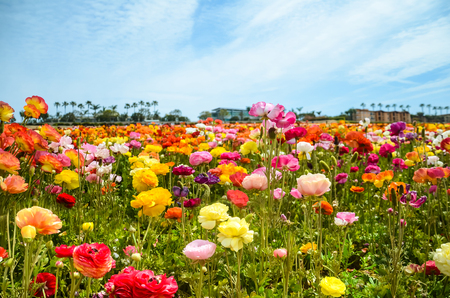 Colorful Ranunculus fields in Carlsbad, California, USA Banco de Imagens