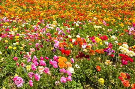 Colorful Ranunculus fields in Carlsbad, California, USA Stock Photo