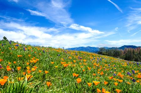 California Poppy (Eschscholzia californica) field near Figureoa Mountain, California, USA Stock Photo