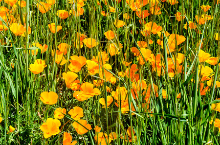 California Poppy (Eschscholzia californica) field near Figureoa Mountain, California, USA Stock Photo