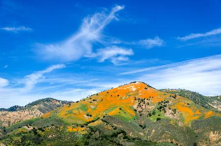 Figureoa Mountain with California Poppies field(Eschscholzia californica), California, USA