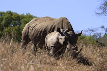 savana: Rhinoceros