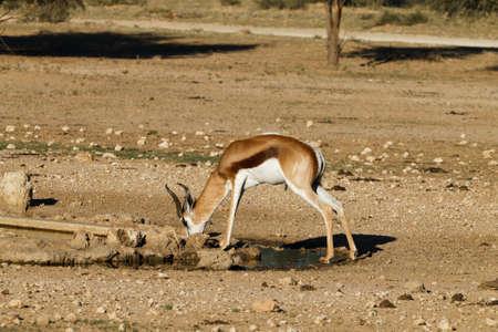 springbok: A close up of a springbok from Kgalagadi Transfontier Park, South Africa