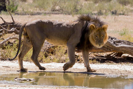 kgalagadi: A lion from Kgalagadi National Park, South Africa