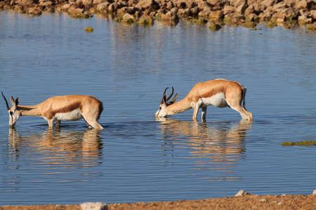 at waterhole: Springboks bebiendo en el pozo de agua de Okaukuejo del parque nacional de Etosha, Namibia Foto de archivo
