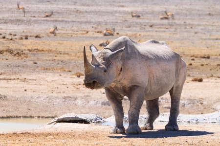 pozo de agua: Rinoceronte negro del parque nacional de Etosha, Namibia Foto de archivo