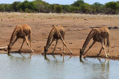 waterhole: Jirafas potable de pozo de agua en el Parque Nacional de Etosha, Namibia