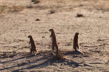 xerus inauris: Cape ground squirrels from Kgalagadi Transfontier Park, South Africa