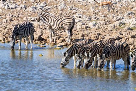 pozo de agua: Zebras drinking at Okaukuejo waterhole from Etosha National Park, Namibia