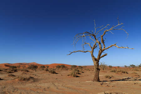 desolation: Death tree with red dunes from Hidden Vlei, Sossusvlei Namibia Stock Photo