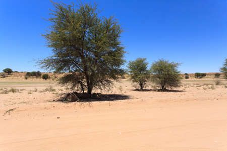 south africa soil: Lions sleeping under trees at Kgalagadi Transfontier Park, South Africa