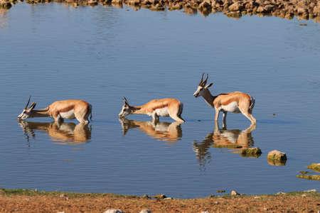 pozo de agua: Springboks bebiendo en el pozo de agua de Okaukuejo del parque nacional de Etosha, Namibia Foto de archivo