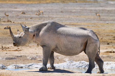 Zwarte neushoorn van Etosha National Park, Namibië Stockfoto