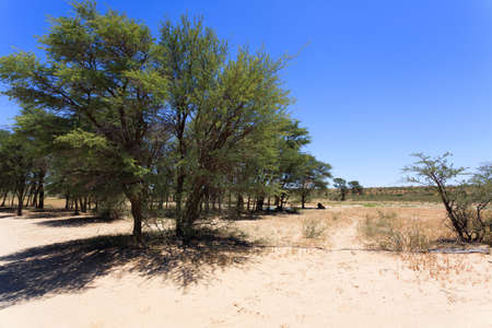 south africa soil: Panorama with lion from Kgalagadi National Park, South Africa
