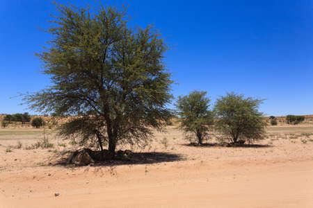 kgalagadi: Lions sleeping under trees at Kgalagadi Transfontier Park, South Africa
