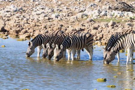 burchell: Zebras drinking at Okaukuejo waterhole from Etosha National Park, Namibia