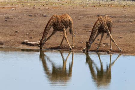 pozo de agua: Jirafas potable de pozo de agua en el Parque Nacional de Etosha, Namibia