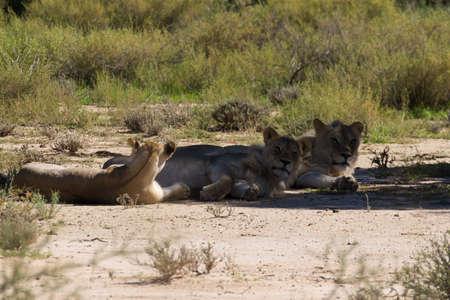 kgalagadi: Three lions sleeping under a tree, Kgalagadi National park, South Africa