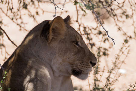 south africa soil: Lion waiting under trees at Kgalagadi Transfontier Park, South Africa Stock Photo