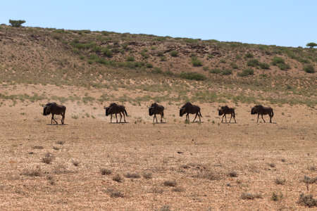 kgalagadi: A herd of wildebeest from Kgalagadi trasfontier park, South Africa