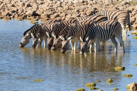pozo de agua: Cebras bebiendo en el pozo de agua de Okaukuejo del parque nacional de Etosha, Namibia Foto de archivo