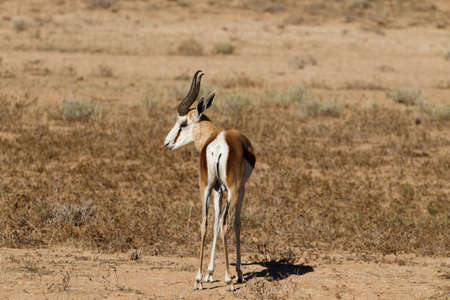 kgalagadi: A close up of a springbok from Kgalagadi Transfontier Park, South Africa