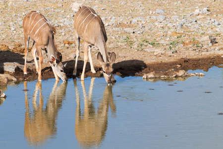 pozo de agua: Kudu bebiendo en Namutoni pozo de agua del Parque Nacional de Etosha de Namibia