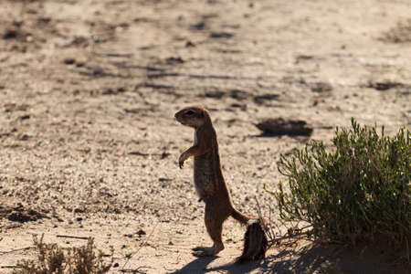 xerus inauris: A Cape ground squirrel from Kgalagadi Transfontier Park South Africa