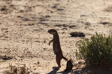 cape ground squirrel: A Cape ground squirrel from Kgalagadi Transfontier Park South Africa