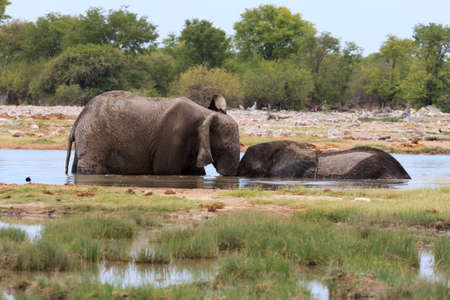 burchell: Couple of elephants playing from Etosha National Park Namibia