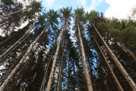 marron: A view from bottom of trees in a forest Stock Photo