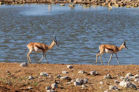 pozo de agua: Pareja de pringboks en Okaukuejo pozo de agua del parque nacional de Etosha Namibia