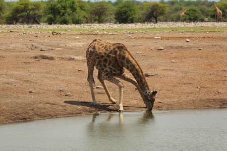 pozo de agua: Bebida de la jirafa del pozo de agua en el Parque Nacional de Etosha de Namibia Foto de archivo